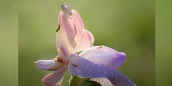 Belalang Anggrek, Serangga Tercantik di Dunia