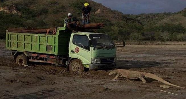 Foto seekor komodo yang tengah berhadapan dengan sebuah truk viral di media sosial (Dok. Istimewa)