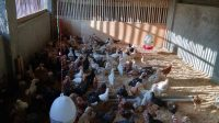 Cara Budidaya Ternak Ayam Kampung Yang Baik dan Benar